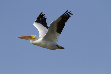 A White Pelican Pelecanus erythrorhynchos in flight