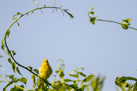 warbler: Yellow Warbler poses under early summer arch of greenery