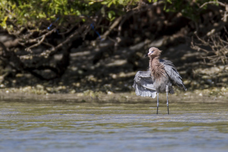 reddish: Reddish Egret stalking prey in the shallows