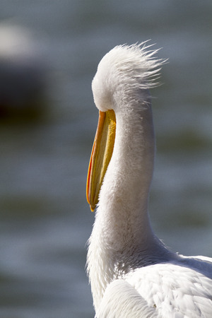 White Pelican faces into a pleasant breeze Imagens - 42931385
