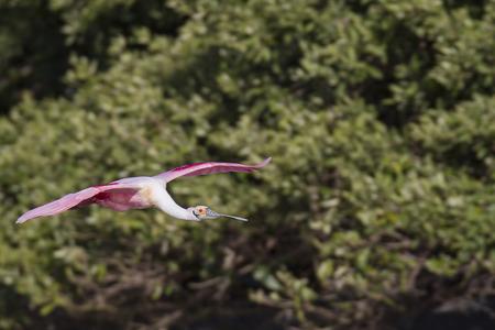 roseate: Roseate Spoonbill in flight near mangroves on Alafia Banks Stock Photo