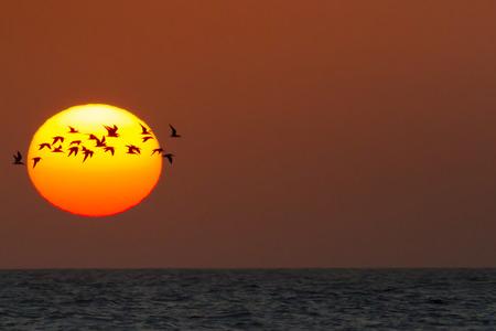 skimmer: Black Skimmer flock silhouetted against setting sun