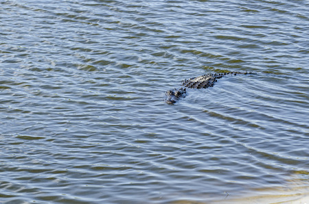 easing: American alligator easing its way toward shore Stock Photo