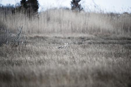coyote: Coyote scouts marsh for an early morning meal