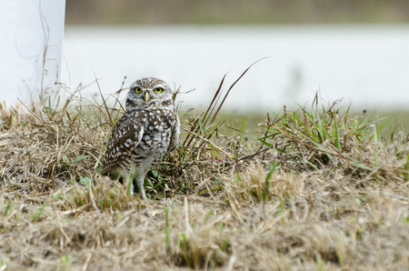 burrowing: Burrowing Owl stands tall near its burrow
