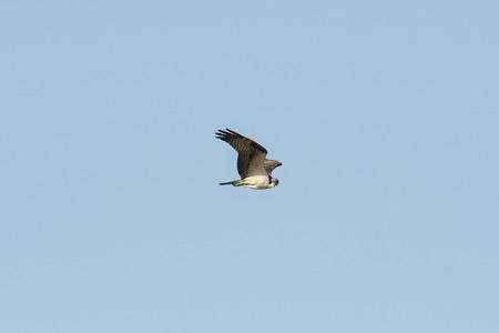 osprey: Osprey Pandion haliaetus in flight Stock Photo
