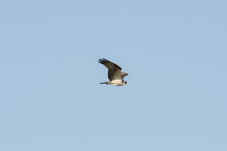 Visarend Pandion haliaetus in de vlucht