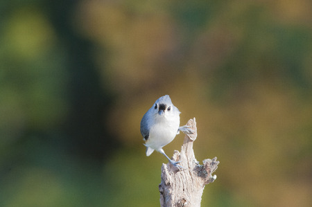 tufted: Tufted Titmouse sizes up a possible threat