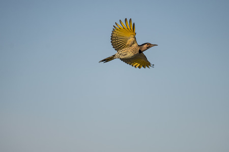 Yellow-shafted Northern Flicker spreads its wings Imagens