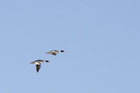 common room: Pair of Common Merganser males in flight
