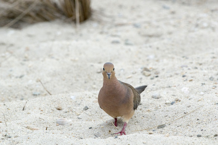 foraging: Mourning Dove Zenaida macroura pauses while foraging on the beach