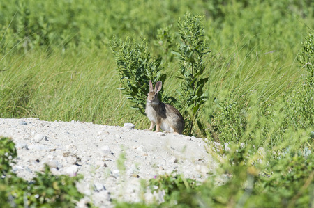 scouts: Rabbt scouts it surroundings from atop a dirt pile