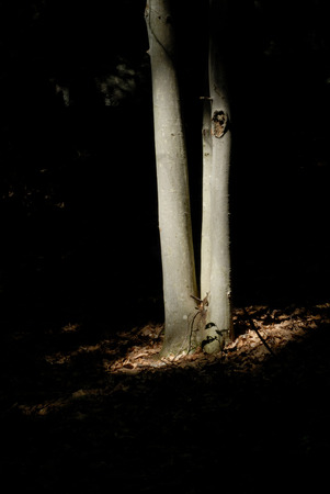 heavily: Ray of sunlight momentarily highlights two tree trunks in a heavily wooded forest Stock Photo