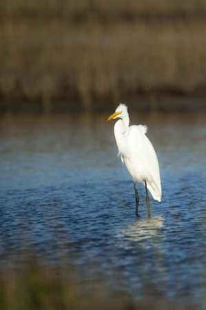 wader: Great Egret forages for food  with wind ruffling its feathers