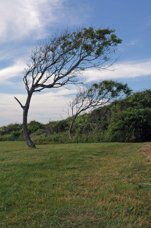 permanently: Trees bent permanently by the wind near Beavertail lighthouse, Jamestown, Rhode Island Stock Photo