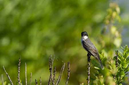 perched: Eastern Kingbird perched and scanning its surroundings Stock Photo