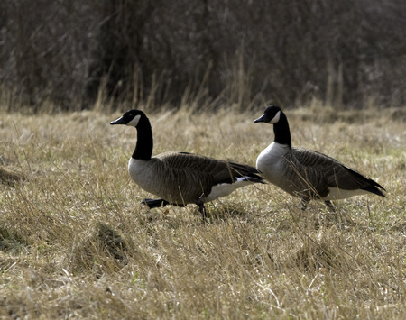 Canada geese Branta canadensis trot through an open field in search of food
