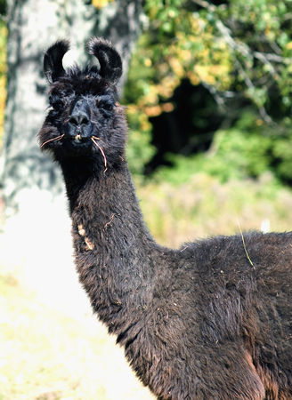 Llama takes a moment from eating to see what the fuss is