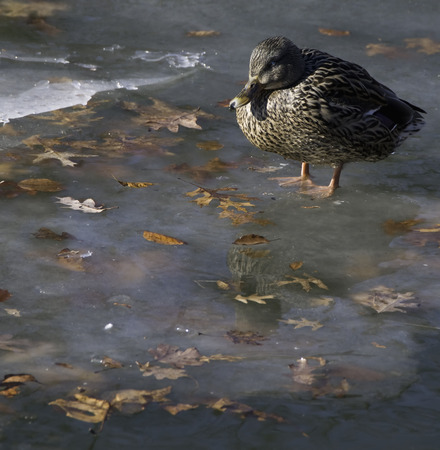 dabbling: Mallard Anas platyrhynchos female relaxes on icy pond