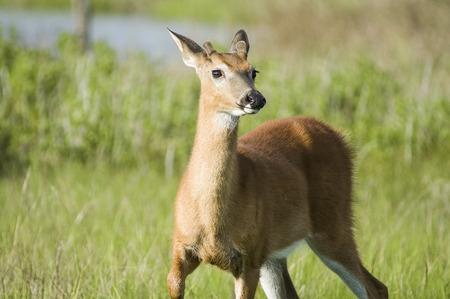 vigilant: White-tailed deer scanning its surroundings for threats