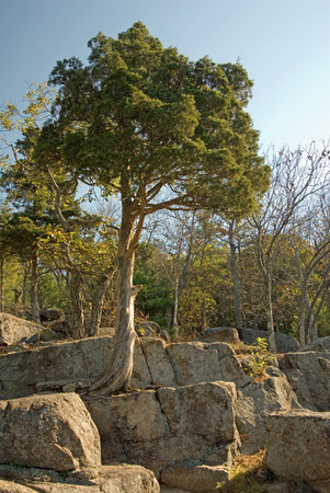 sharon: Tree establishes itself on a granite ledge at Bluff Overlook in Moose Hill Wildlife Sanctuary, Sharon, MA