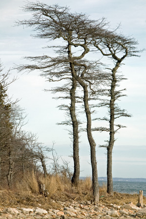 prevailing: Prevailing southwest wind shapes trees along Buzzards Bay