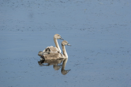 idling: Pair of mute swan cygnets idling in a small pond