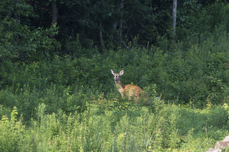 ungulate: White-tailed Deer pauses while grazing in field