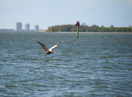 tampa bay: Brown Pelican flying low on Tampa Bay with tall buildings in background Stock Photo