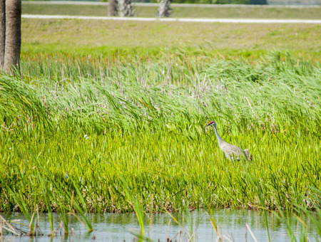 sandhill crane: Sandhill Crane searching marshy area for food