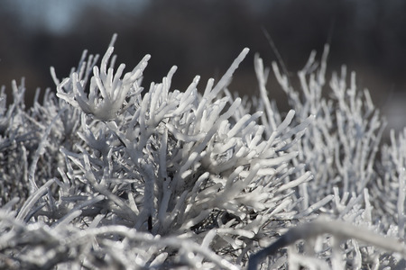 Iced up bushes suggest how tough the winter has been