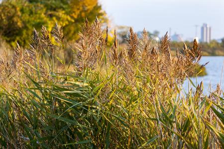 canne: canne invasive fiorente lungo costa del New England