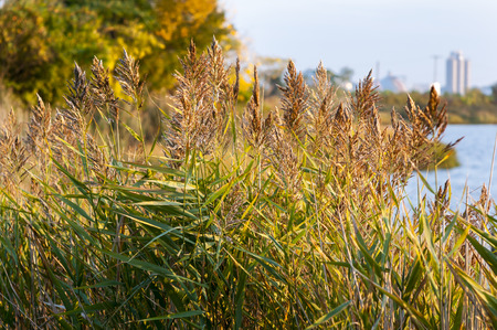 shorelines: Invasive reeds thriving along New England shoreline Stock Photo