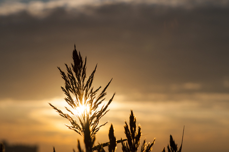 invasive plant: Sun backlighting common reed