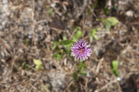bloomer: Purple flower against autumn brown ground cover Stock Photo