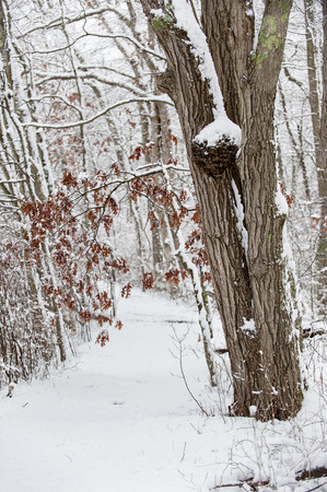 late fall: Fresh snow on trail through New England woods in late fall Stock Photo