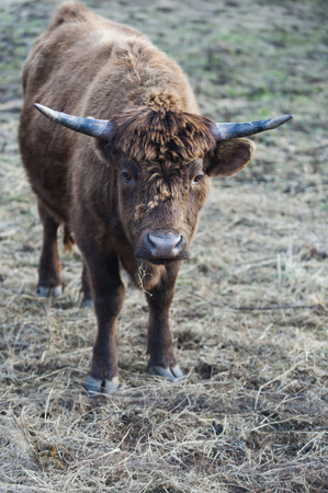 critter: Head of cattle unfazed by cluster of burrs on its thick fur Stock Photo