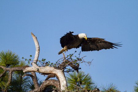 Bald Eagle rearranges its position above its nesting offspring 版權商用圖片