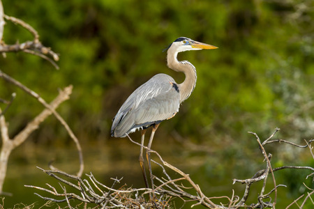 Great Blue Heron alert to surroundings