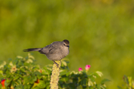 catbird: Gray Catbird alert to surroundings while perched on plant Stock Photo