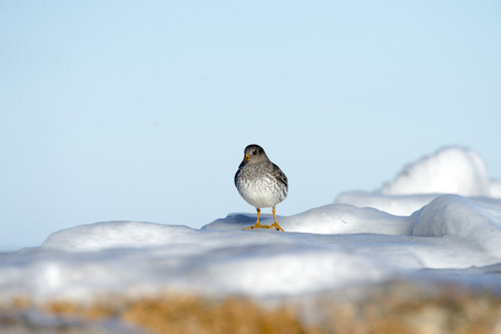 poised: Purple Sandpiper poised on frozen jetty on Cape Cod