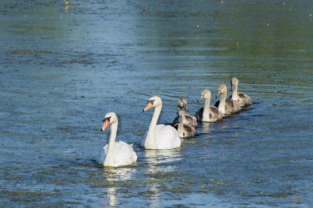 cygnet: Mute Swan family cruise pond single file
