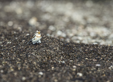 wrack: Snow Bunting showing its feathered tarsi as it forages in wrack zone on beach