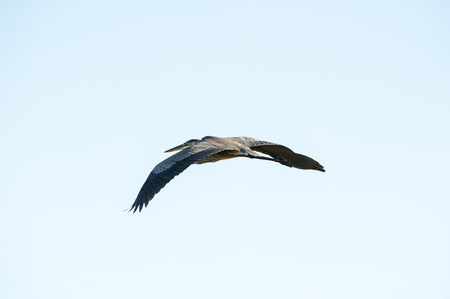 Great Blue Heron in flight wings low