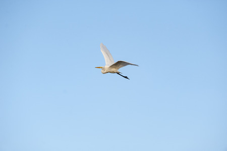 animal  bird: Great Egret flight banking left wings high