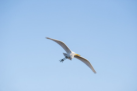 wader: Great Egret soaring across cloudless blue sky