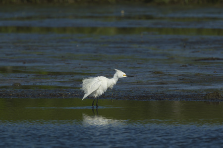 ruffle: Snowy Egret takes moment from foraging to ruffle its feathers Stock Photo