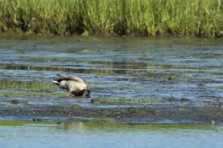 foraging: Drake mallard foraging on mudflat to search out edible plants