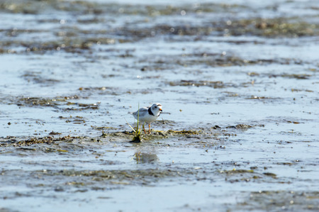 plover: Piping Plover appears to be using weed as cover