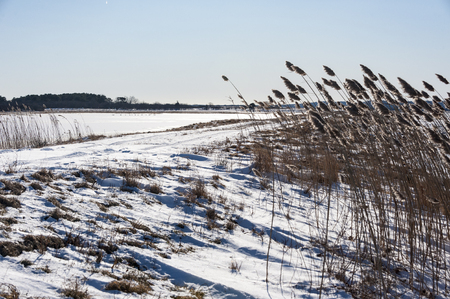 invasive plant: Phragmites bend in the cold wind blowing across the Great Marsh in Newburyport, Massachusetts